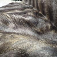 Fausse fourrure au mètre Tissu fausse fourrure imitation loup gris-bleu – 3002 Blue Wolf